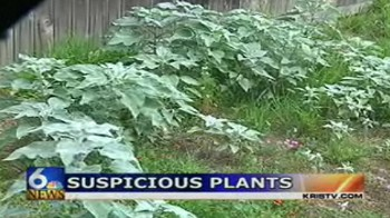 Largest Cannabis Plant